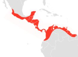 Image of Sinaloan Mastiff Bat