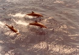 Image of Bridled Dolphin