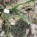 Image of <i>Selenicereus anthonyanus</i> (Alexander) D. R. Hunt