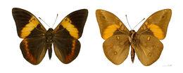 Image of <i>Brassolis sophorae</i> Linnaeus 1758