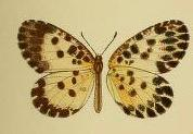 Image of <i>Pentila maculata</i> (Kirby 1887)