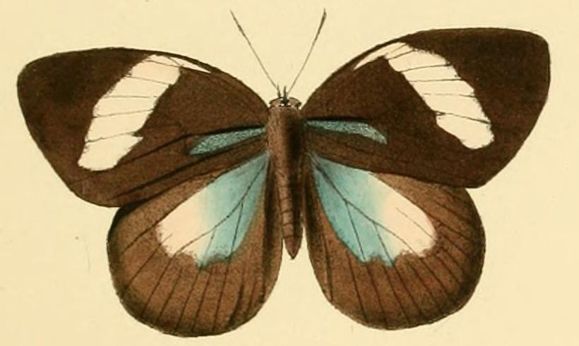 Image of <i>Aethiopana honorius</i> (Fabricius 1793)