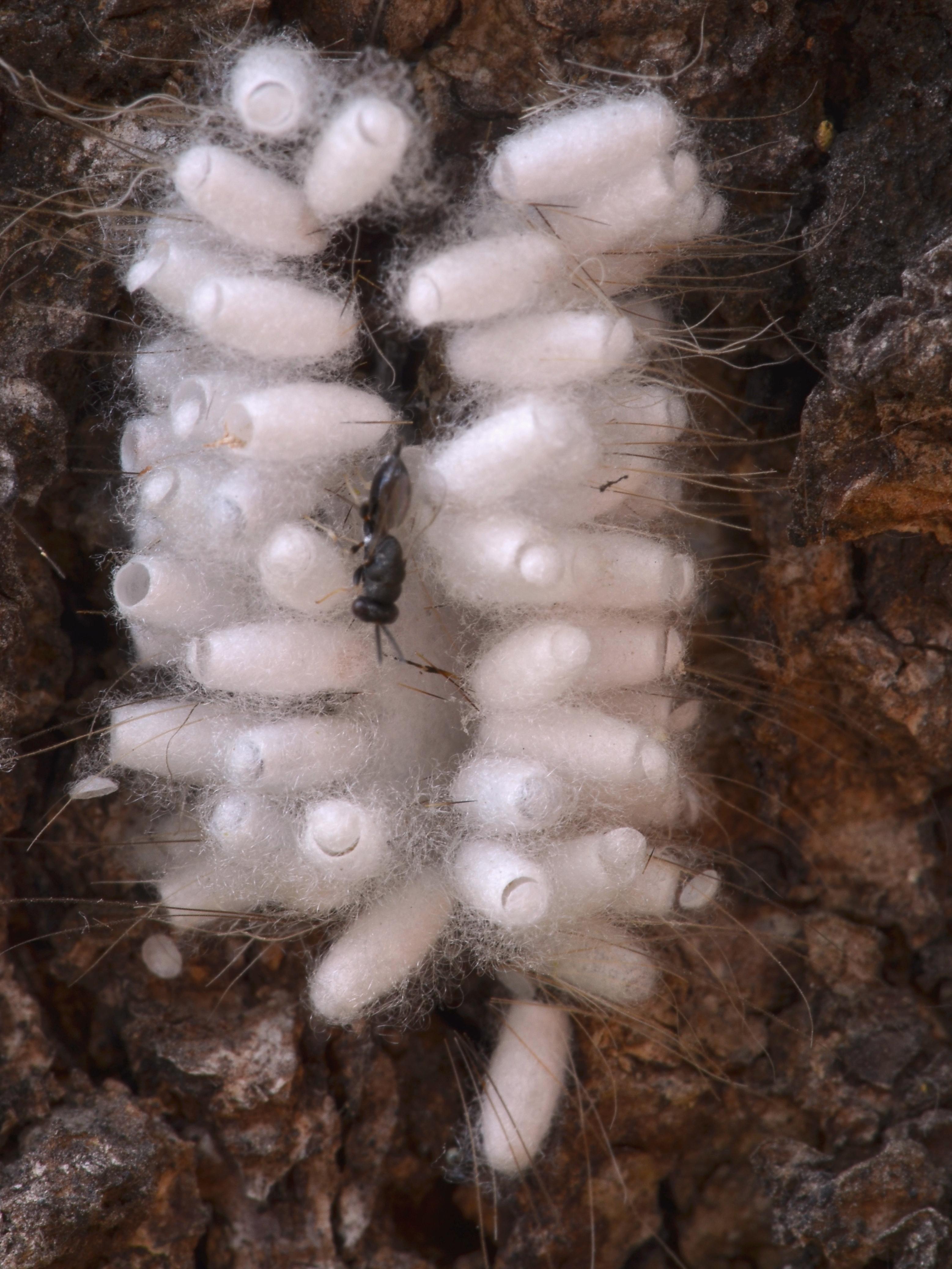 Image of Microgastrinae