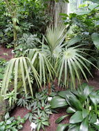 Image of <i>Coccothrinax miraguama</i> (Kunth) Becc.