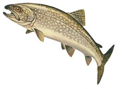 Image of lake trout
