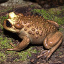 Image of Chilean Toads