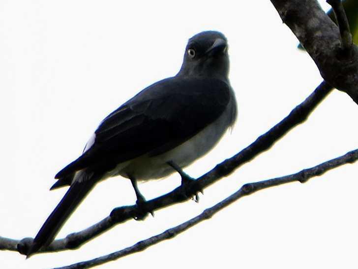 Image of White-rumped Cuckooshrike