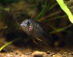 Image of Borelli's dwarf cichlid