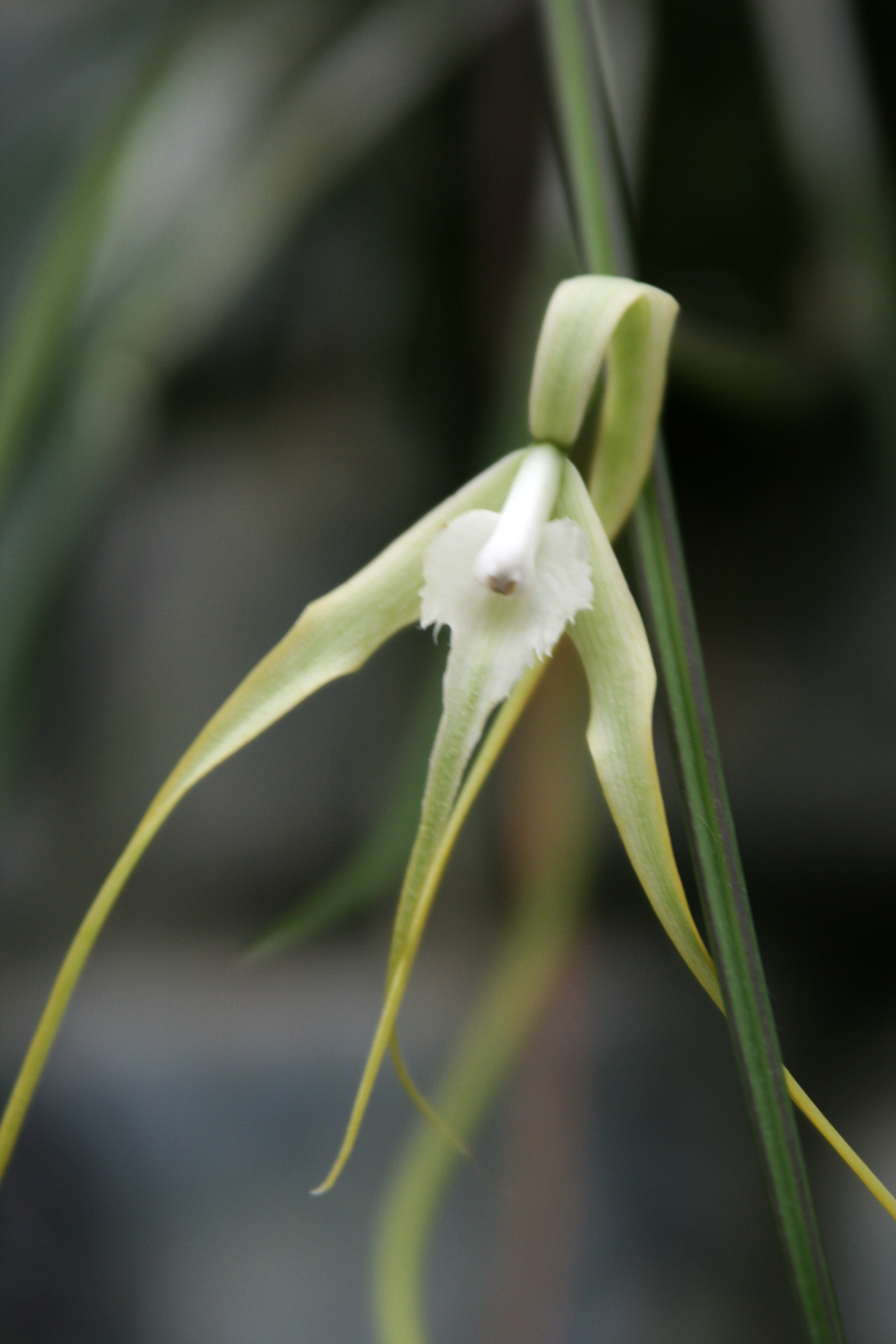 Image of daddy longlegs orchid