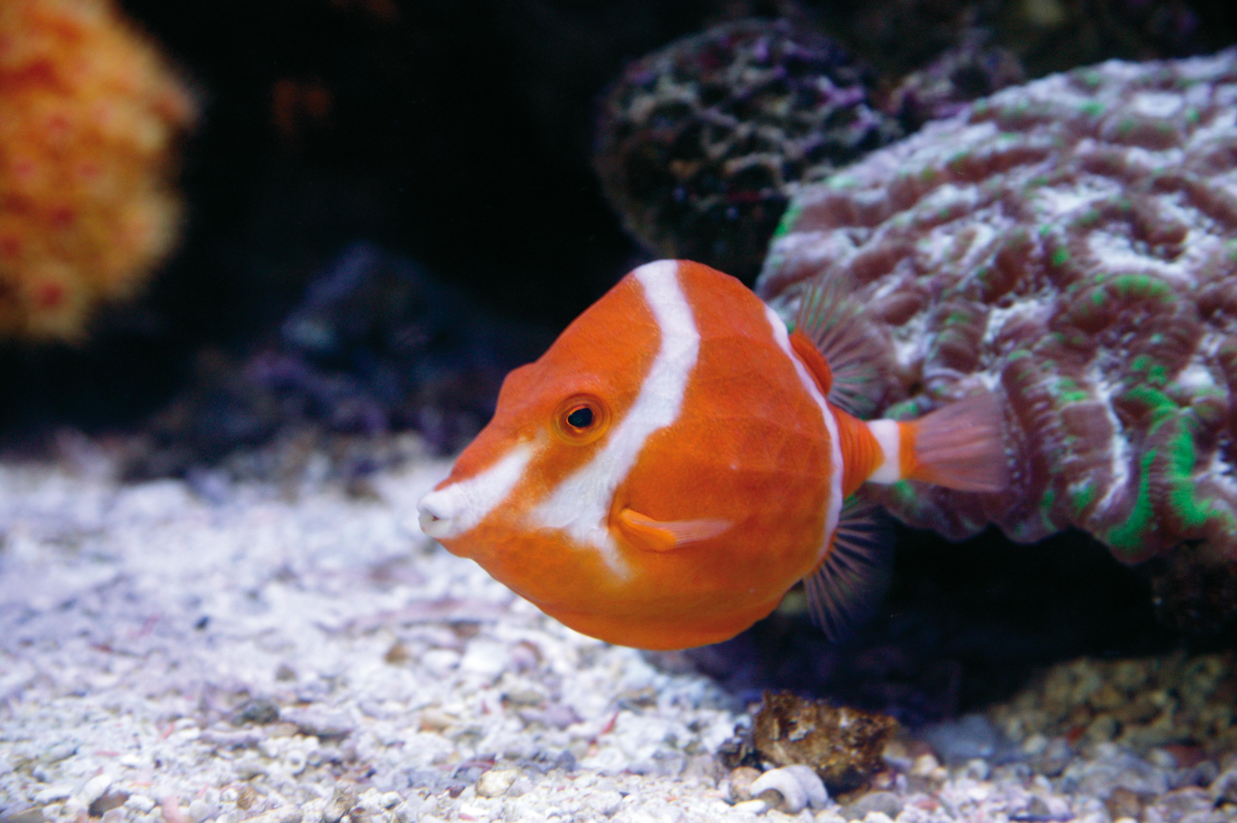 Image of High-backed boxfish