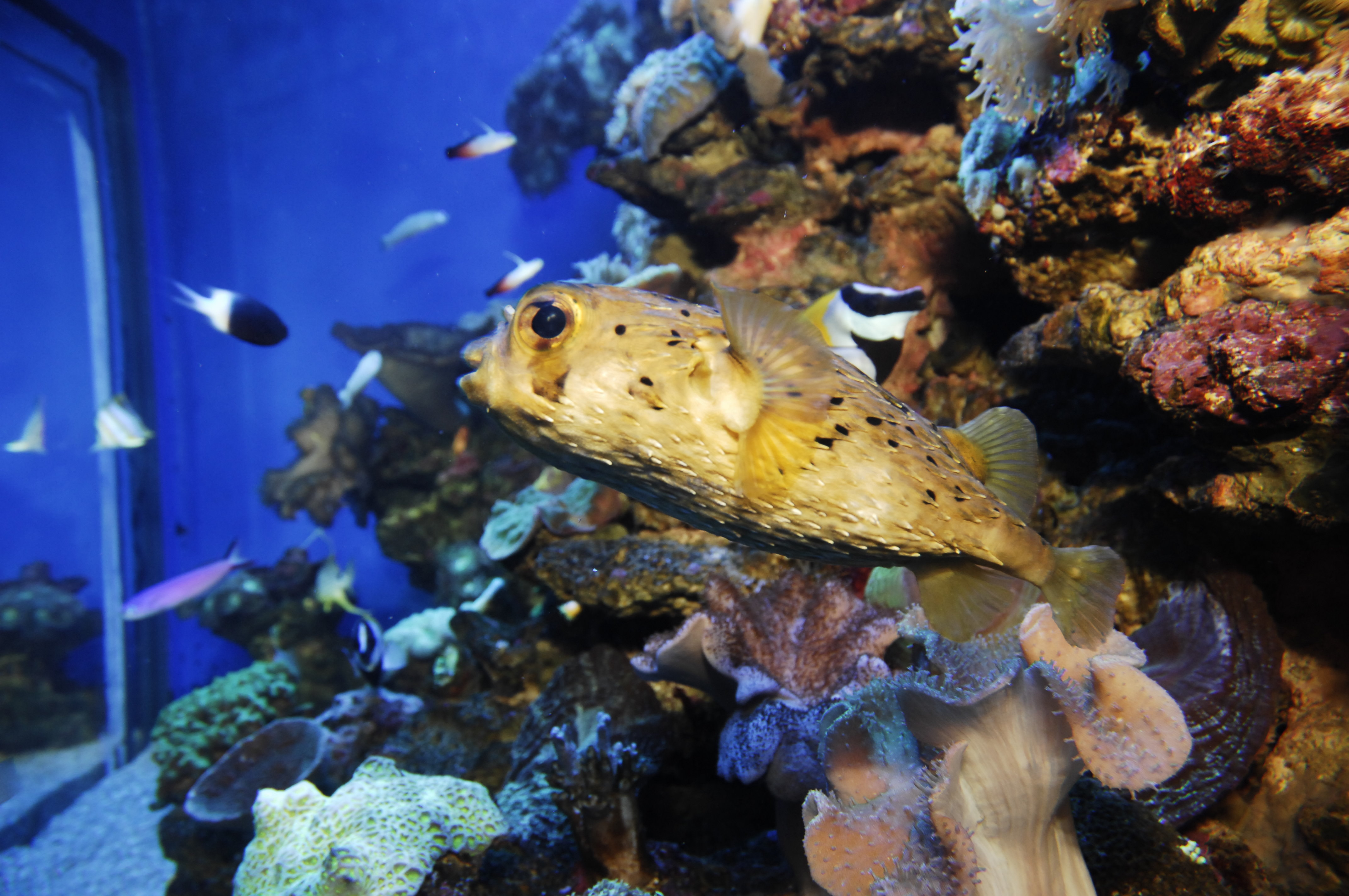 Image of Four-bar porcupinefish