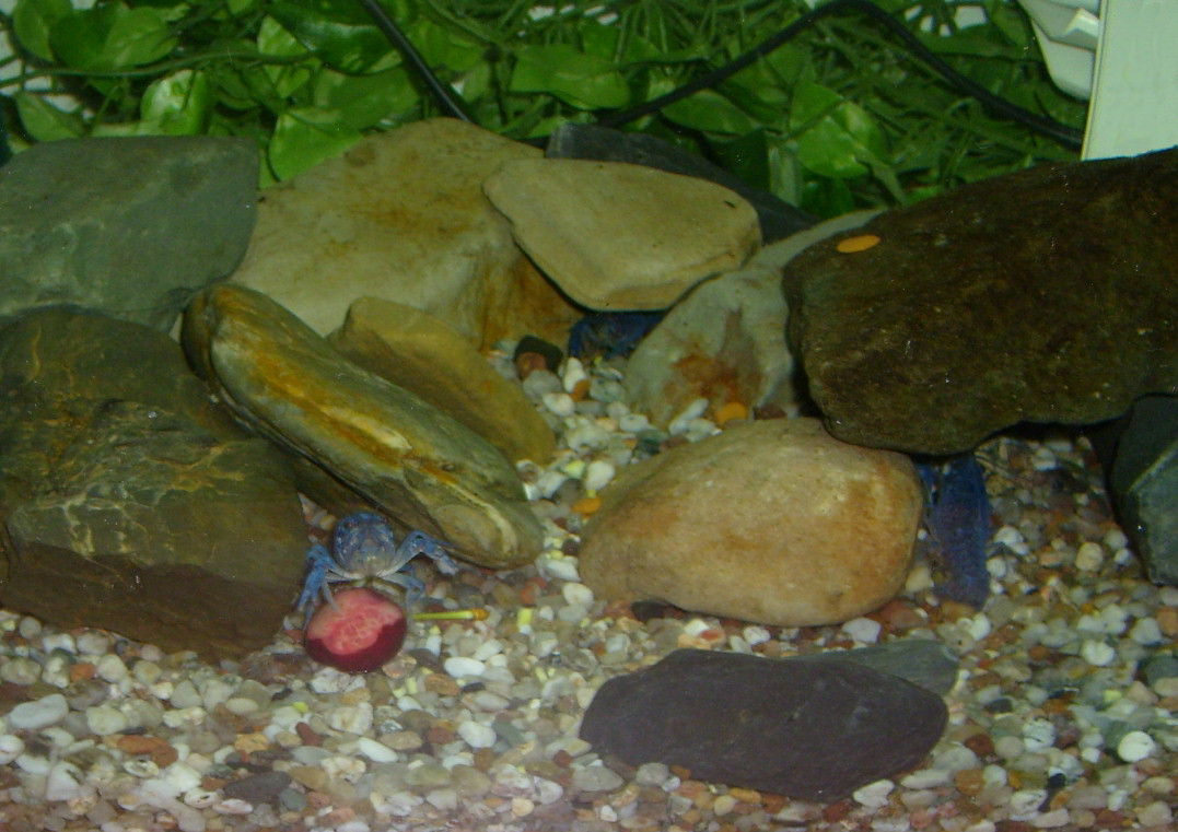Image of Florida Crayfish