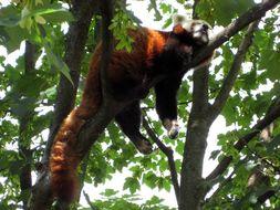 Image of Red Panda