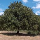 Image of Carob Tree