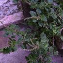 Image of largefruit amaranth