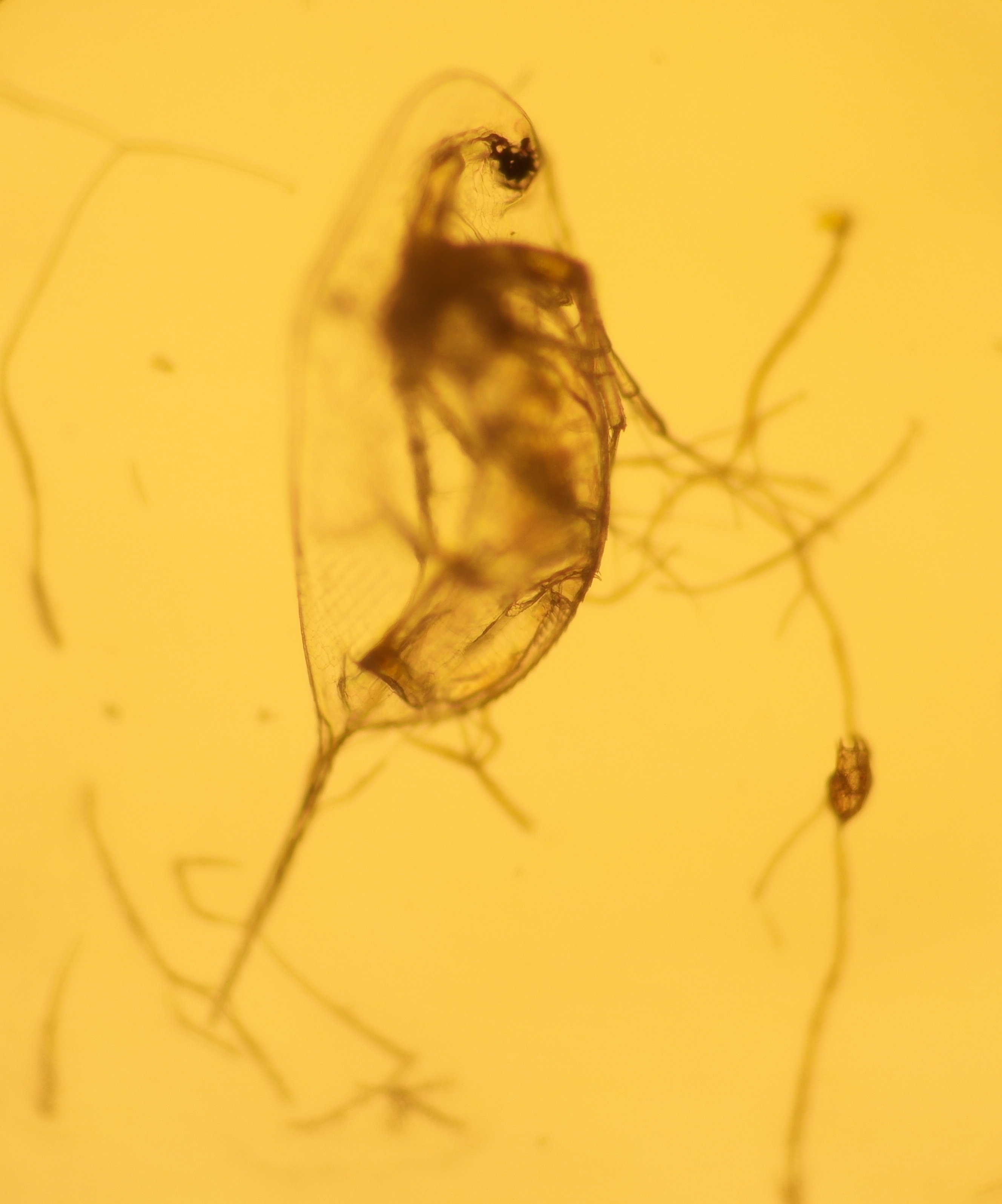 Image of long-tailed waterflea