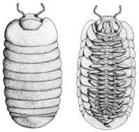 Image of <i>Glomeris marginata</i>
