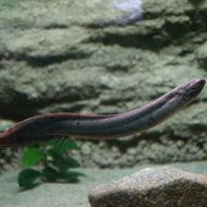 Image of South American lungfish