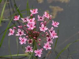 Image of flowering rush