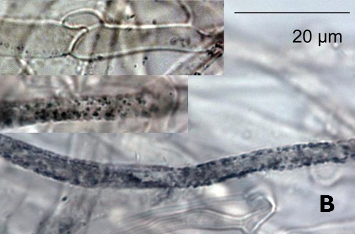 Image of <i>Boletopsis nothofagi</i> J. A. Cooper & P. Leonard 2012