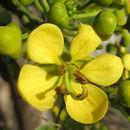 Image of Siamese cassia