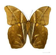 Image of <i>Eryphanis automedon</i>