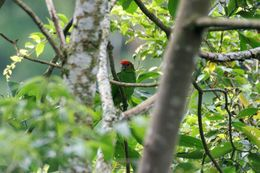 Image of Pileated parrot