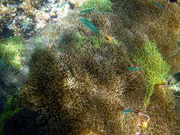 Image of merten's carpet anemone