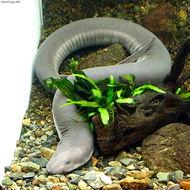 Image of Three-toed Amphiuma