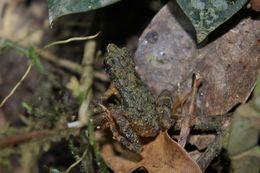 Image of Kadamaian Stream Toad