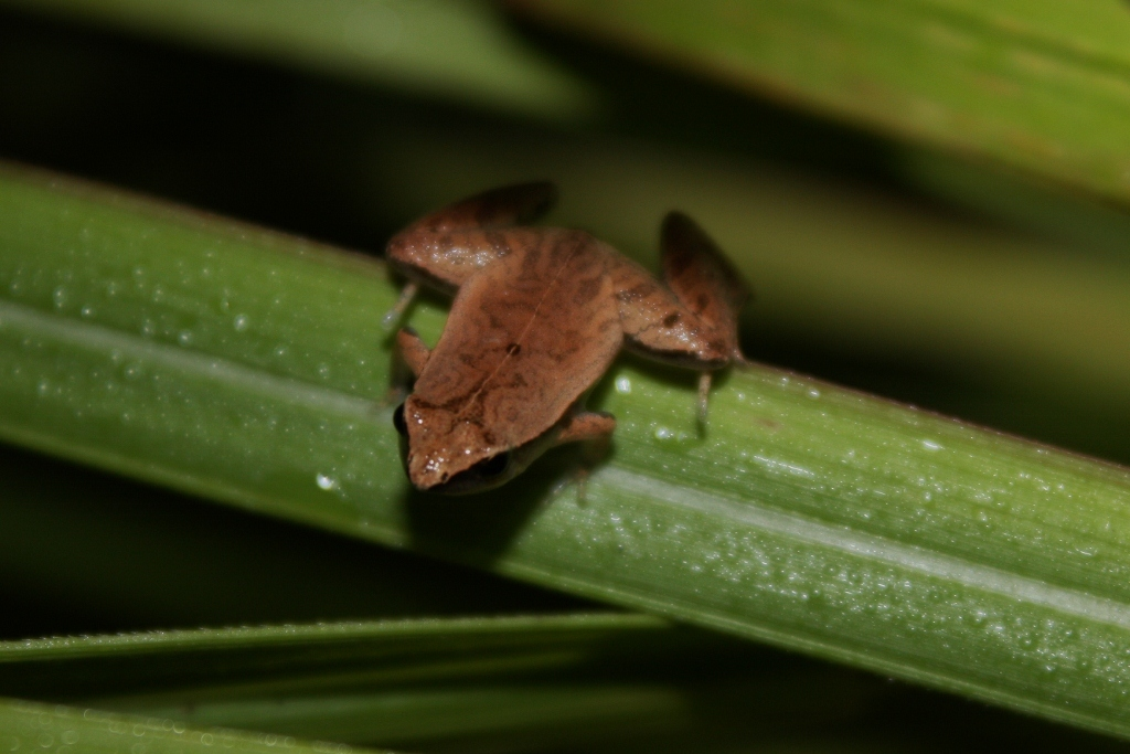 Image of Arcuate-spotted Pygmy Frog