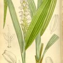 Image of <i>Neuwiedia griffithii</i> Rchb. fil.