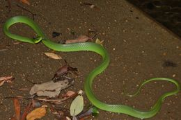 Image of Chinese Green Snake