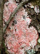 Image of <i>Cryptothecia rubrocincta</i>