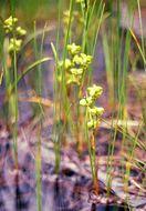 Image of pod grass