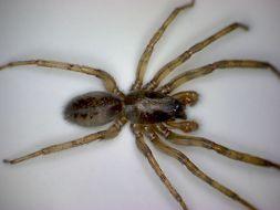Image of snake-back spider