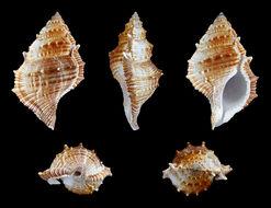 Image of <i>Bufonaria cristinae</i> Parth 1989