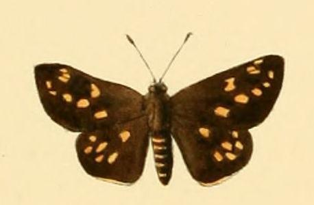 Image of <i>Kedestes callicles</i> Hewitson 1868