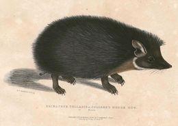 Image of Collared Hedgehog