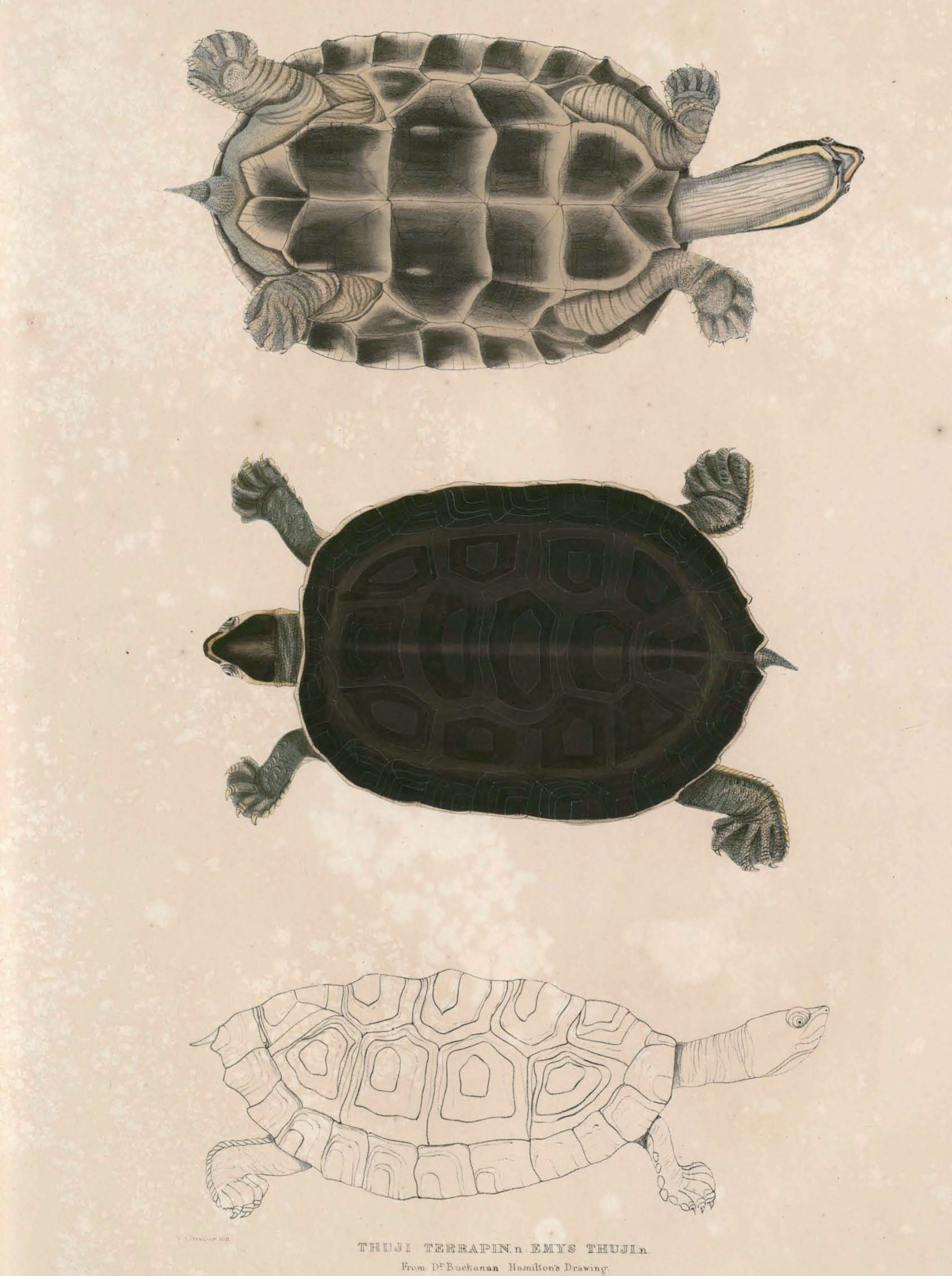 Image of Crowned river turtle