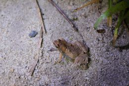 Image of Ornamented Pygmy Frog