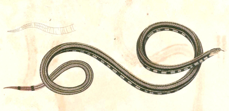 Image of Banded Malaysian Coral Snake