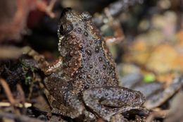 Image of Butler's Rice Frog