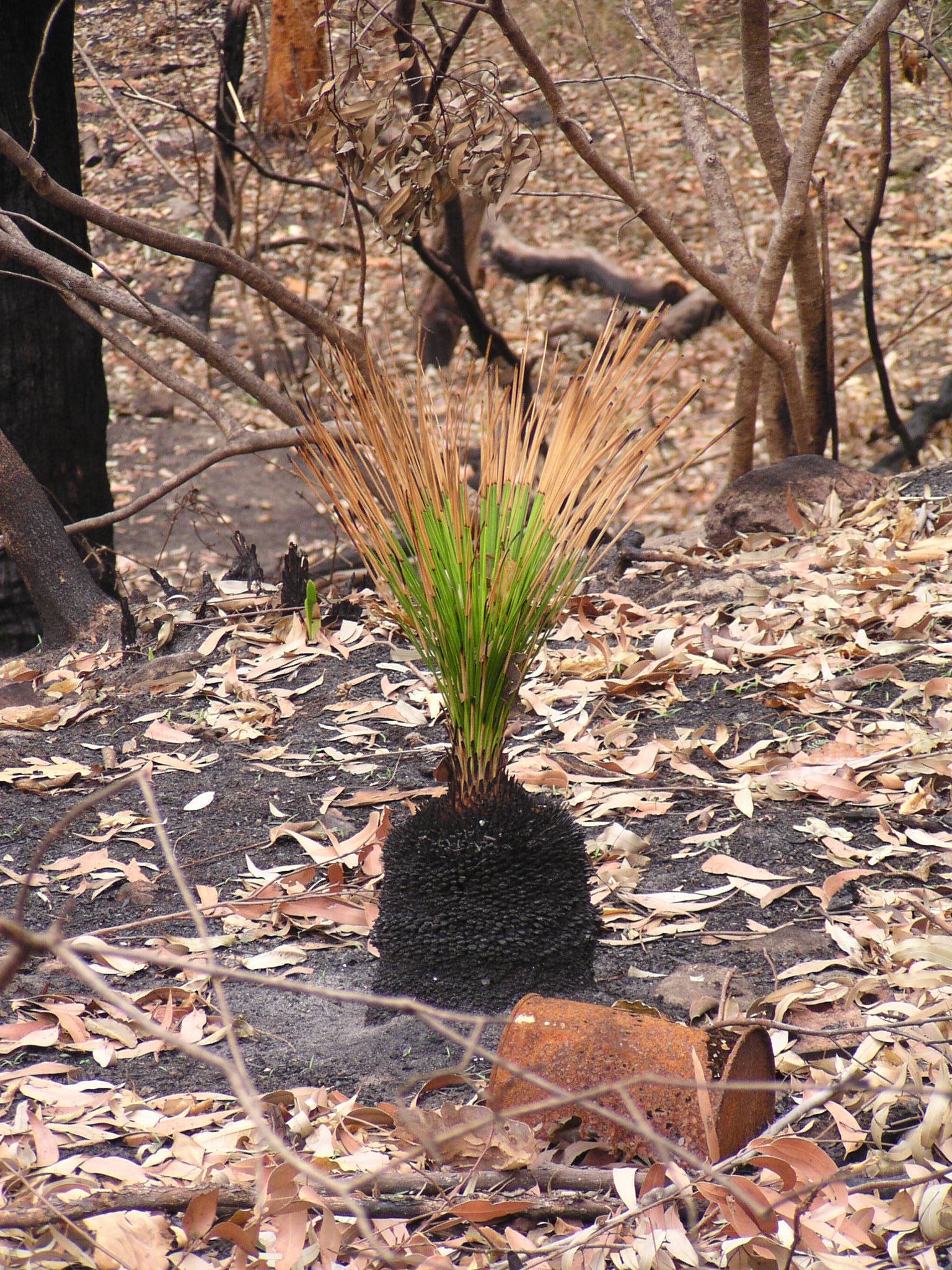 Image of <i>Xanthorrhoea resinosa</i> Pers.