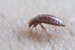 Image of bed bug