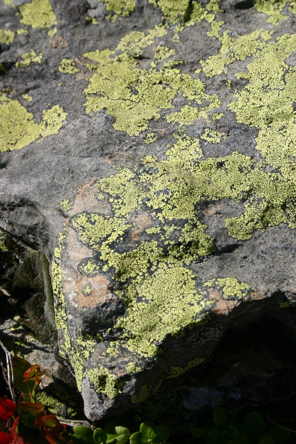 Image of map lichen