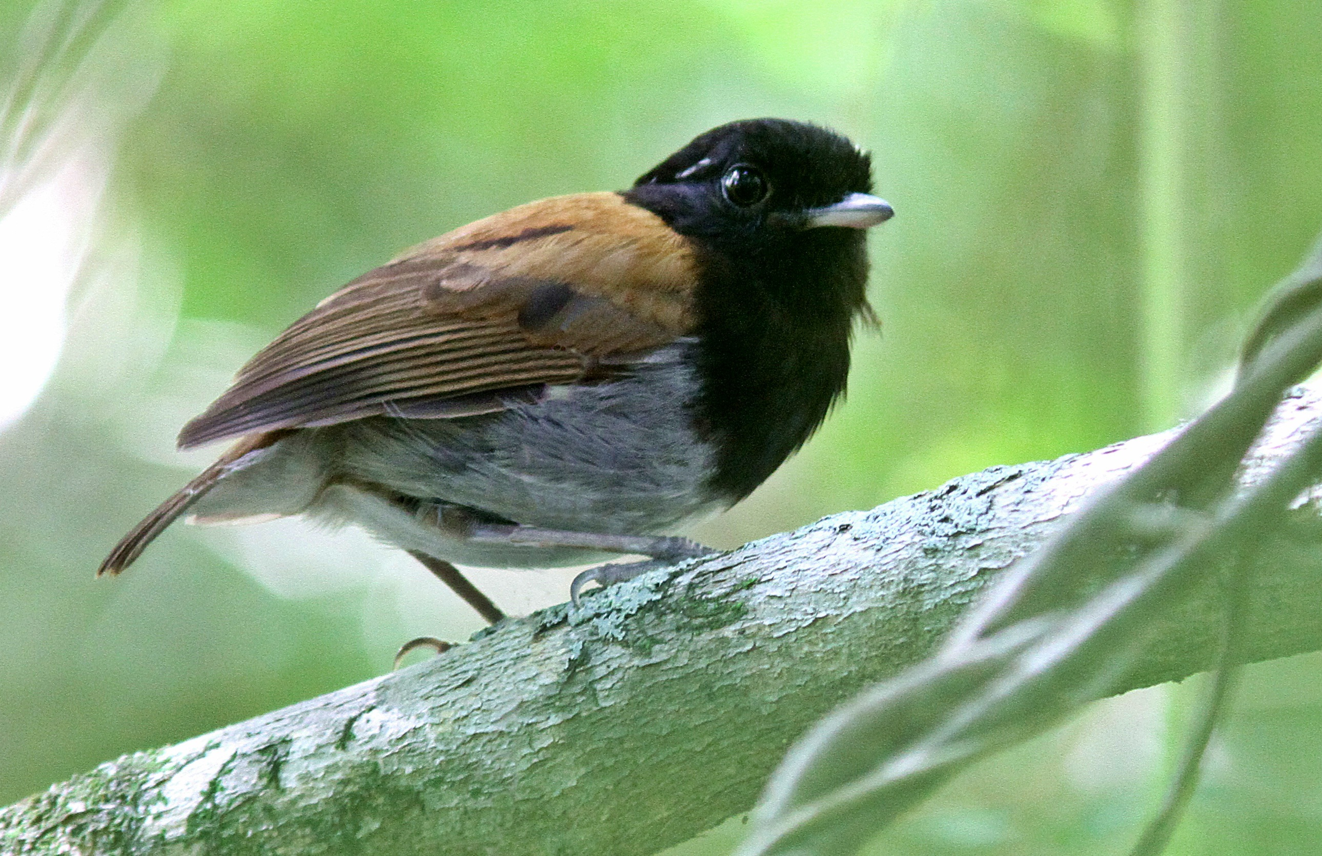 Image of Hooded Gnateater