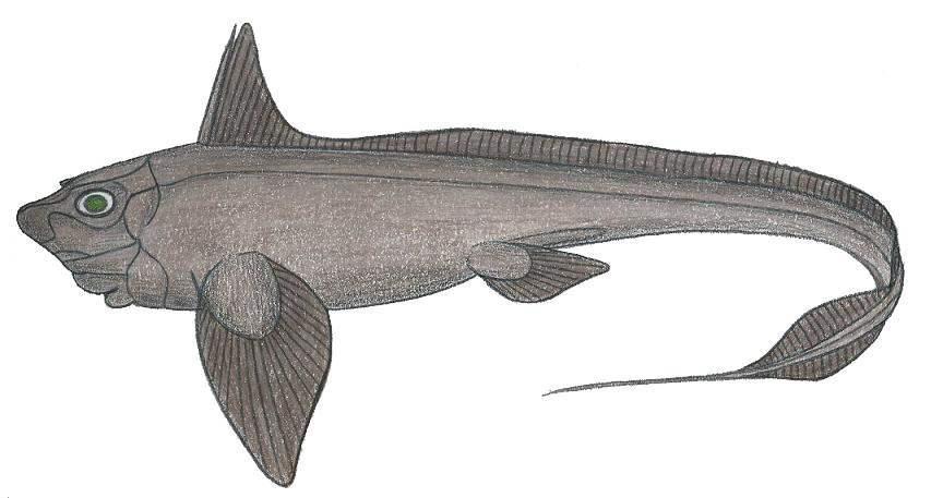 Image of Atlantic Chimaera