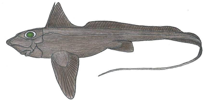 Image of Large-eyed Rabbitfish