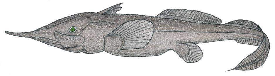 Image of Smallspine Spookfish